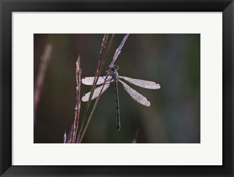 Framed Dragonfly And Magenta Stems Print