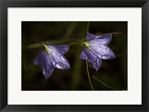 Framed Drops Of Rain On Purple Wildflowers Print
