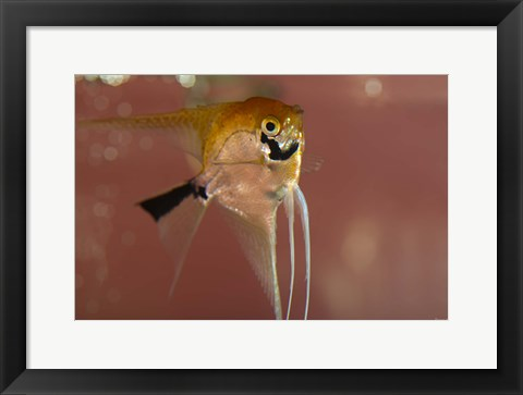 Framed Angel Fish X Print