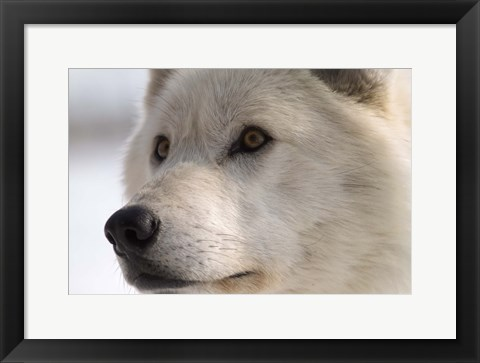 Framed White Wolf Color Print