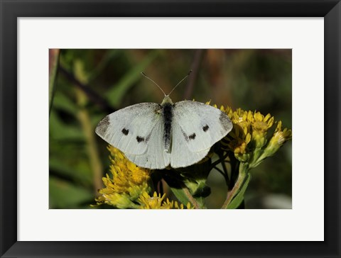 Framed Yellow Flower And White Moth Print
