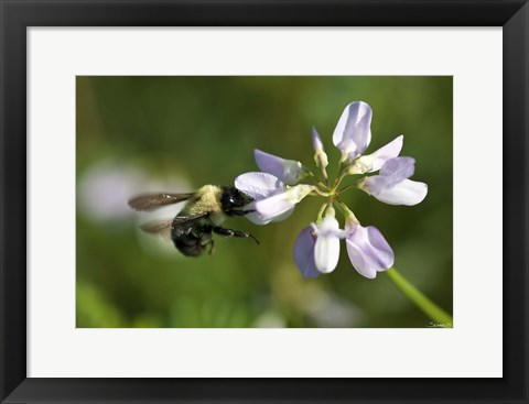 Framed Bee On Purple Flower Print