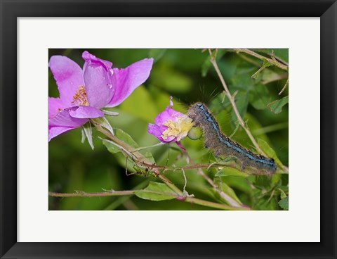 Framed Blue Caterpillar On Magenta Flower Print