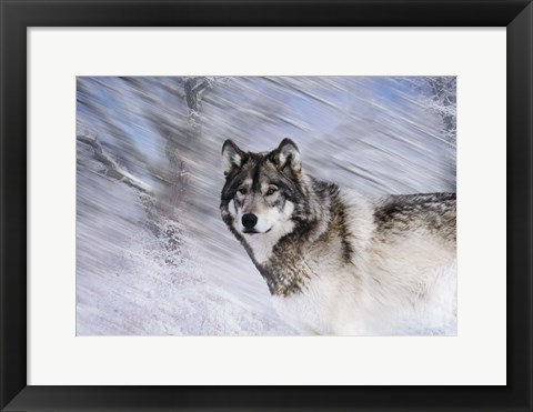 Framed River Wolf I Print