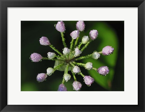 Framed Purple Flower Buds With Dew Print
