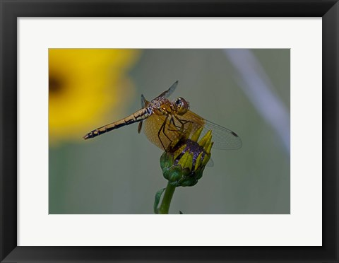 Framed Orange Dragonfly on Green And Yellow Flower Print