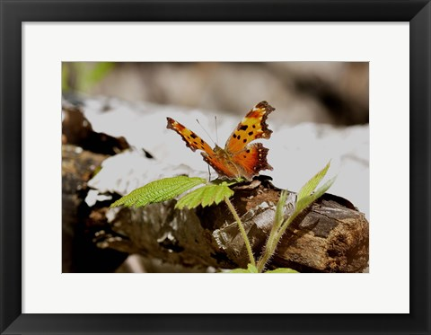 Framed Orange And Black Butterfly On Wood Print