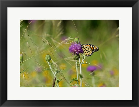 Framed Orange Butterfly On Purple Flower Bloom I Print