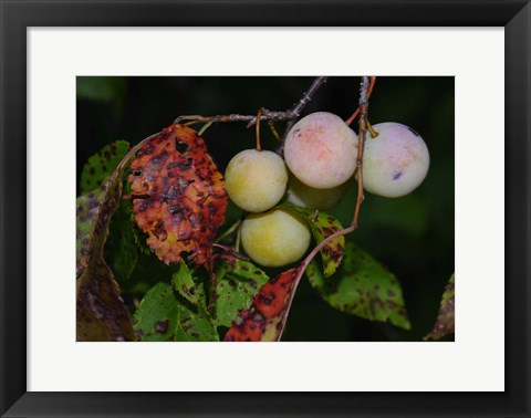Framed Shades Of Nature Fruits Print