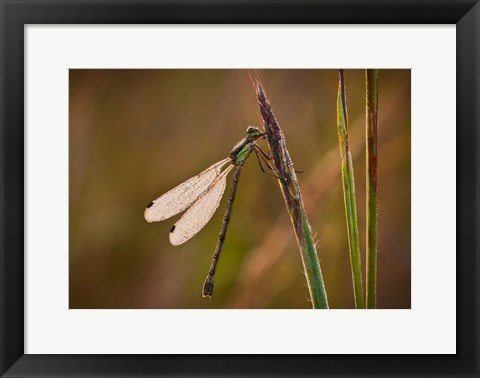 Framed Dragonfly On Green Stems Print