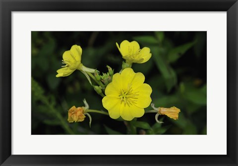Framed Shades Of Nature Yellow Flower Cluster Print