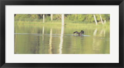 Framed Common Loon 8 Print