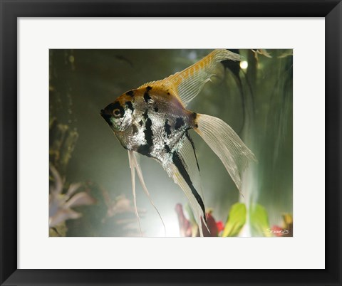 Framed Angel Fish XIII Print