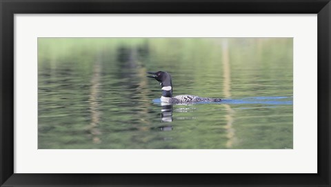 Framed Common Loon 6 Print