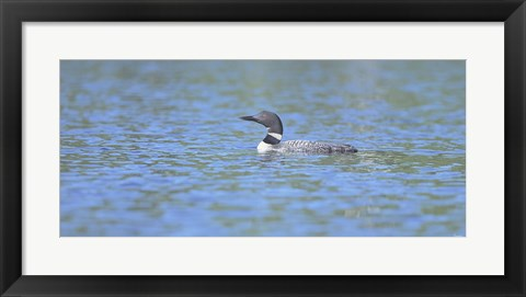 Framed Common Loon 7 Print