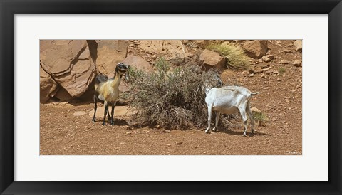 Framed Monument Valley Goats 17 Print