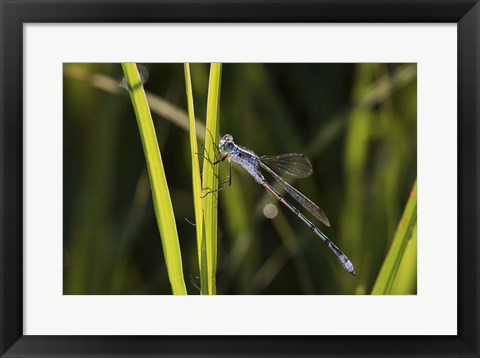 Framed Dragonfly And Light Green Grass Print