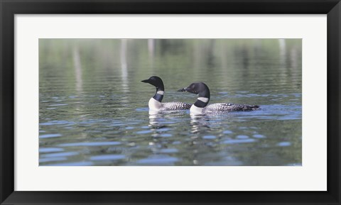 Framed Common Loon 5 Print