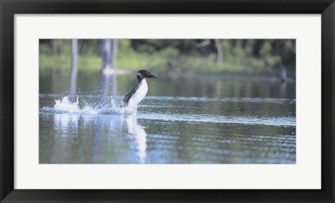 Framed Common Loon 1 Print