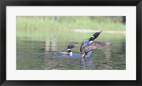 Framed Common Loon 3 Print