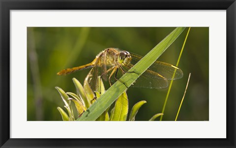 Framed Yellow Dragonfly On Leaf Print