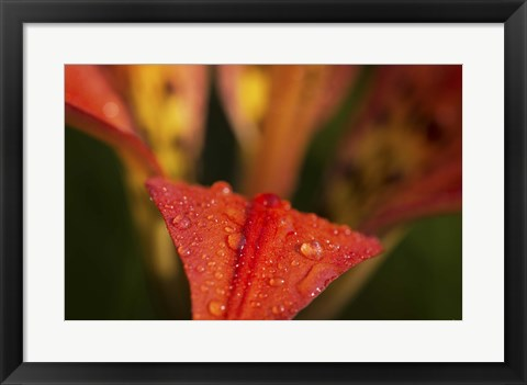 Framed Red Petal With Raindrops On Green Print