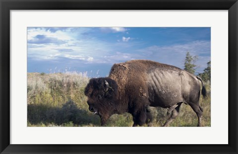Framed Bison Walking Print