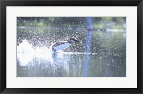 Framed Common Loon 2 Print