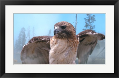 Framed Skies Of Yellowstone - Redtail Hawk Print