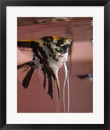Framed Angel Fish XII Print