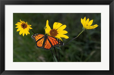 Framed Monarch 1 Print