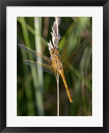Framed Yellow Dragonfly On White Bloom Print