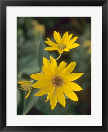 Framed Yellow Blooming Flower Duo I Print