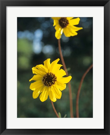 Framed Yellow And Brown Wildflowers Print