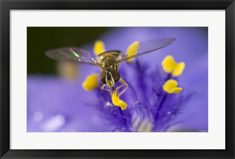 Framed Bee Resting On Purple And Yellow Flower Closeup Print