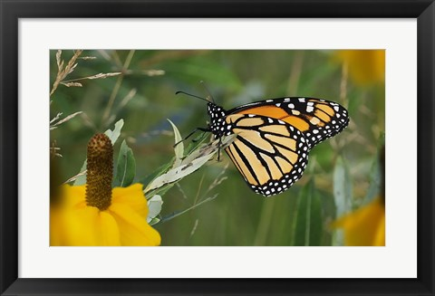 Framed Monarch 4 Print