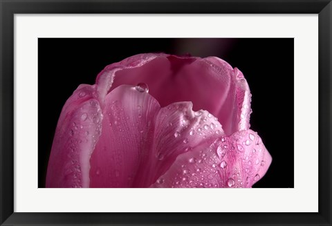 Framed Pink Tulip Petals And Dew Print