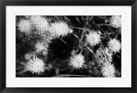 Framed Wildflower Blooms In Black And White Print