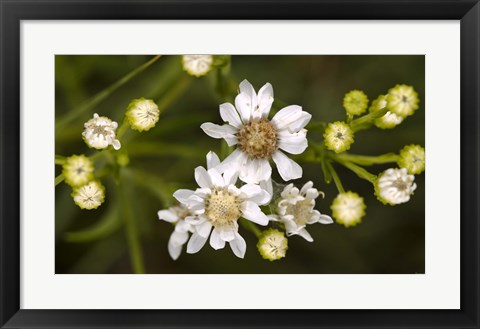 Framed White Wildflowers And Flower Buds Print