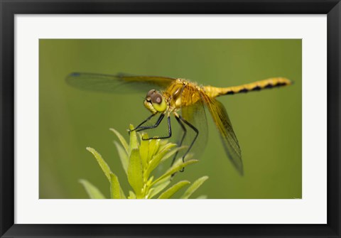 Framed Orange Insect On Green Foliage Print