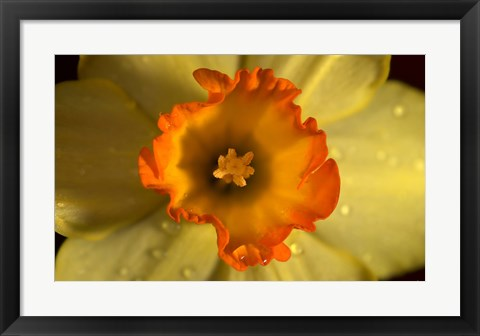Framed Orange And Yellow Flower Closeup Print