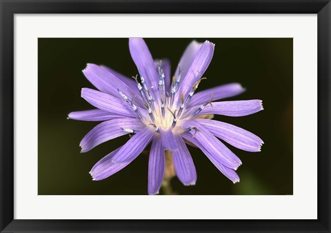 Framed Purple Flower Petals And Dew Closeup II Print