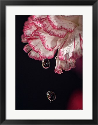 Framed Red And White Carnation And Raindrops Print