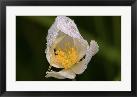 Framed North Shore White Flower With Dew Print