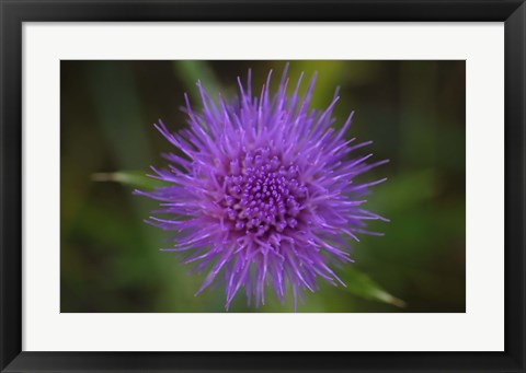 Framed Shades Of Nature Purple Spiked Flower II Print