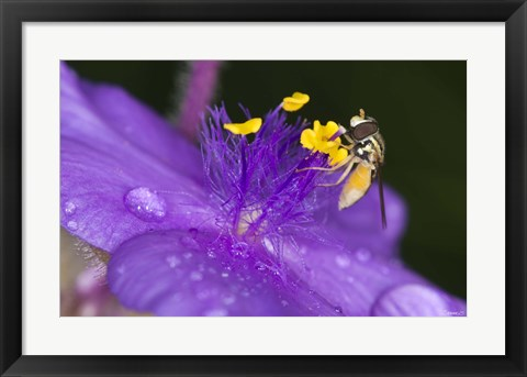 Framed Bee On Purple And Yellow Flower Print