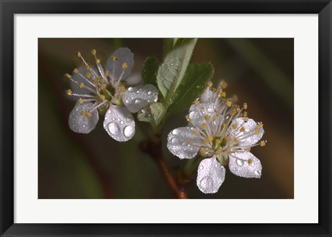 Framed Silver Flowers And Raindrops Print