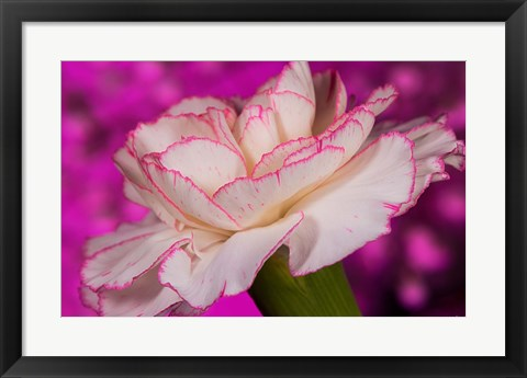 Framed Pink And White Carnation On Magenta II Print