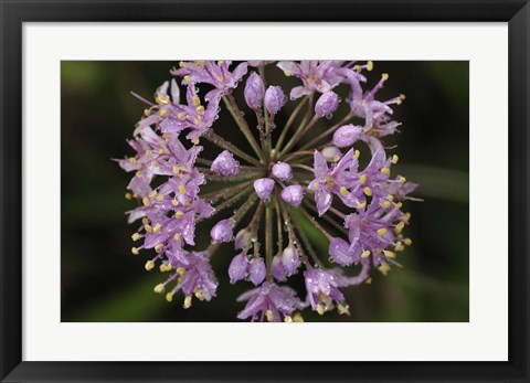 Framed Purple Buds Closeup Print