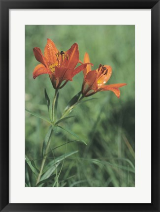 Framed Orange Tiger Lillies In Grass Print